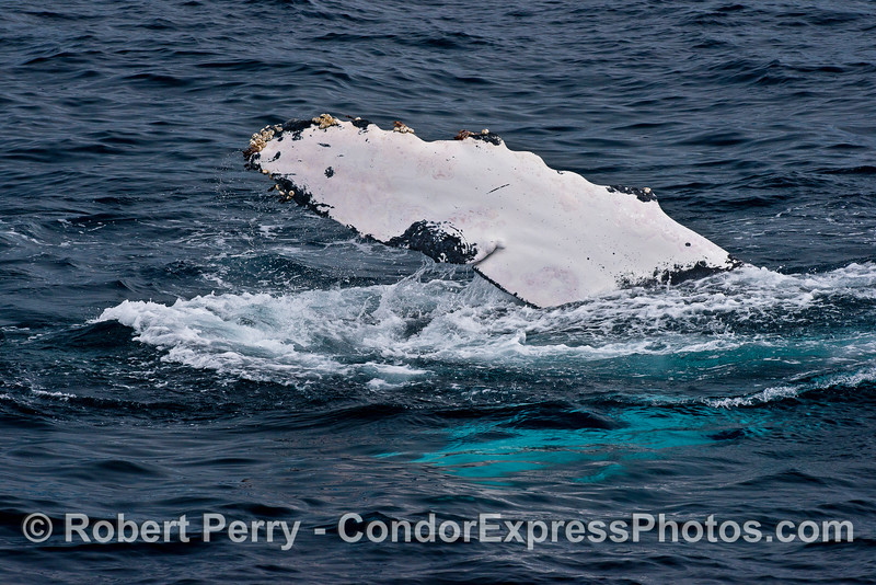 Pectoral fin of a humpback whale