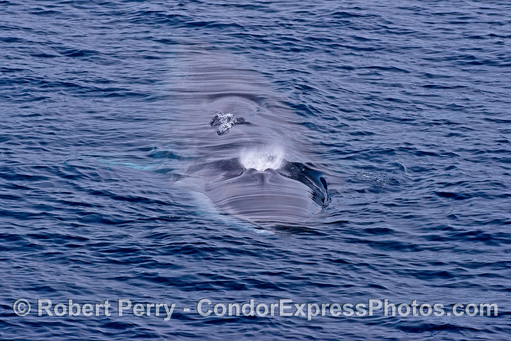 A very friendly young fin whale comes over to say hello