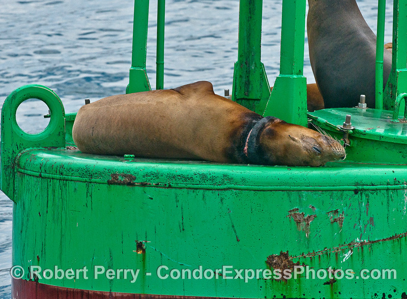A California sea lion rests on the harbor entrance buoy.  This animal was temporarily captured by a rescue team which removed nylon fishing line that was wrapped around the neck.  The damage, called a necklace wound, is still visible but the prognosis is good.