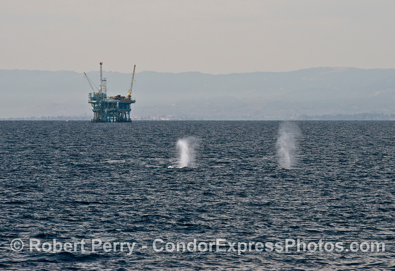 Twin humpback whale spouts and an offshore oil platform