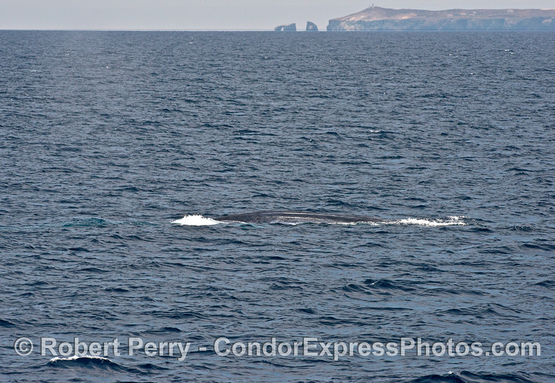 A blue whale is shown with world-famous Arch Rock and East Anacapa Island in the background.