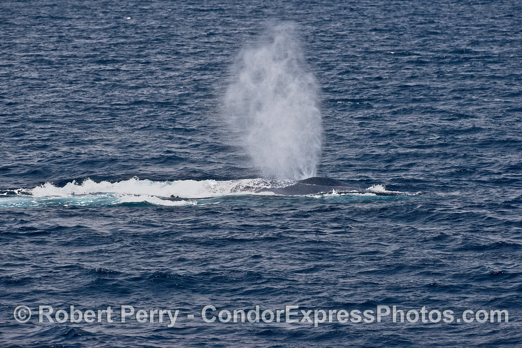 Tall spout from a blue whale