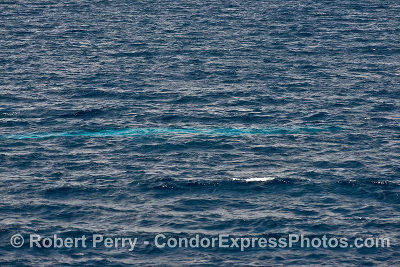 Blue streak.   From whence blue whales get their name.