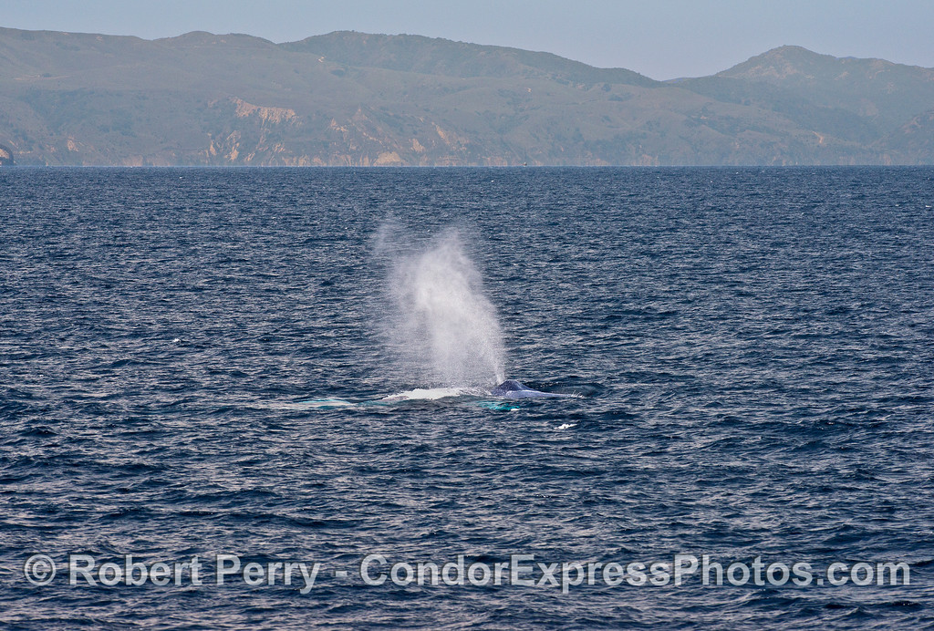 A tall blue whale spout with Santa Cruz Island in back.