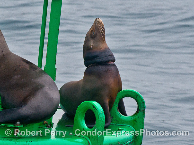 A California sea lion rests on the harboar entrance buoy.  This animal has a necklace scar stemming from its past entanglement with fishing net material.   Our own Captain Dave and his colleagues disentangled this sea lion a week or so ago and treated the wound.  We are watching it slowly heal.