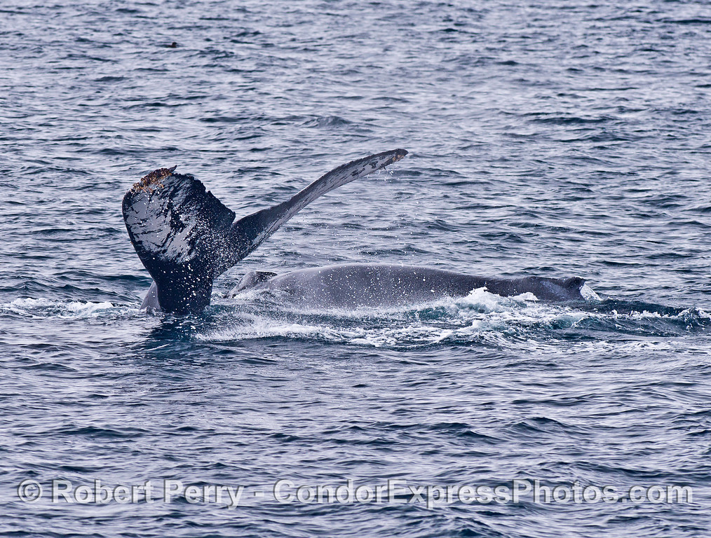 A mother humpback whale kicks up her tail flukes as her calf swims close by.