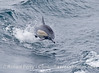 Image 2 of 2:  leaping long-beaked common dolphin.