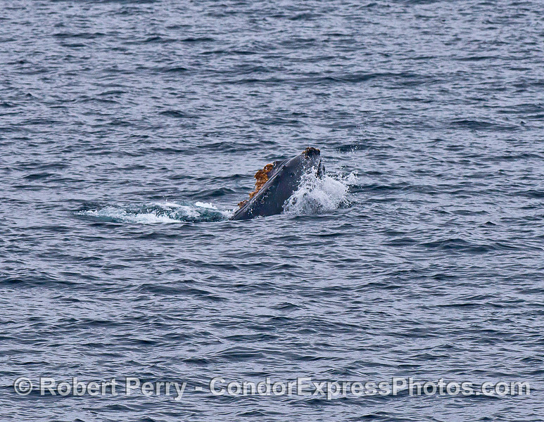 In the distance we see a humpback whale playing with a small drifting paddy of giant kelp.