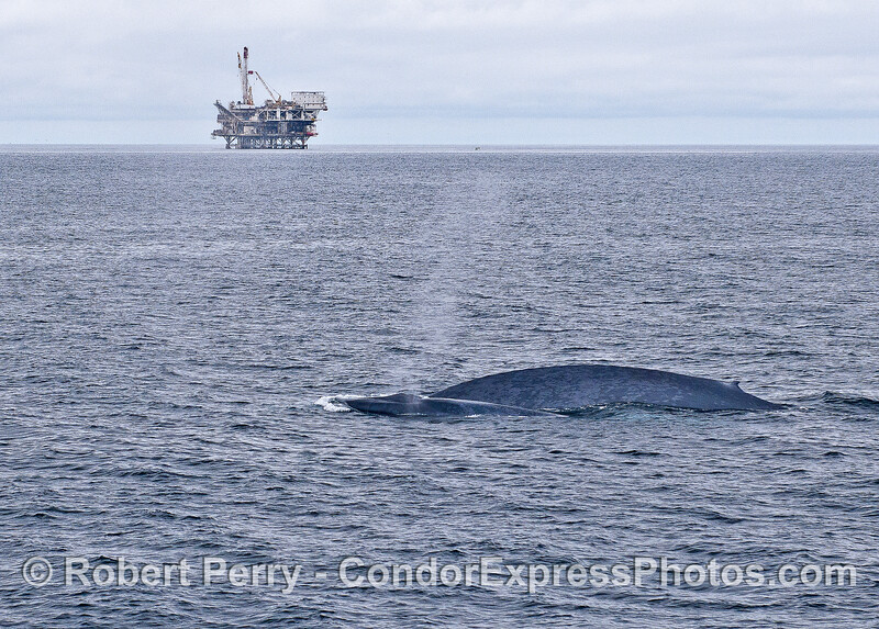 Mother and calf blue whales with Platform Gilda in back.