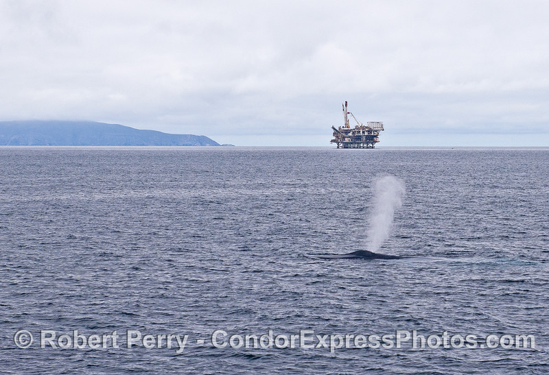 A giant blue whale (one of two) is shown spouting with Anacapa Island and Platform Gail  in the back.