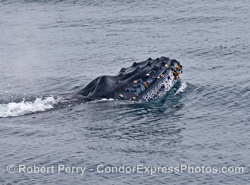 The little humpback whale calf lifts its knobby head to look around.