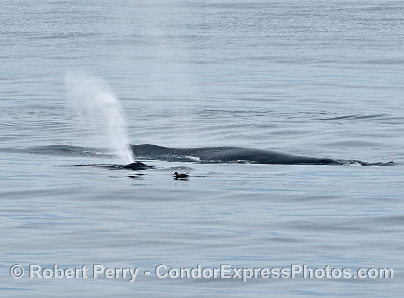 Mother and calf - humpback whales.       and a lone sooty shearwater.