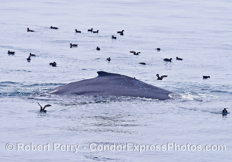 Sooty shearwaters and a humpback whale.