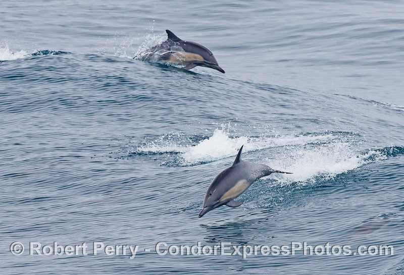 Dolphins going left, dolphins going right.  What fun !