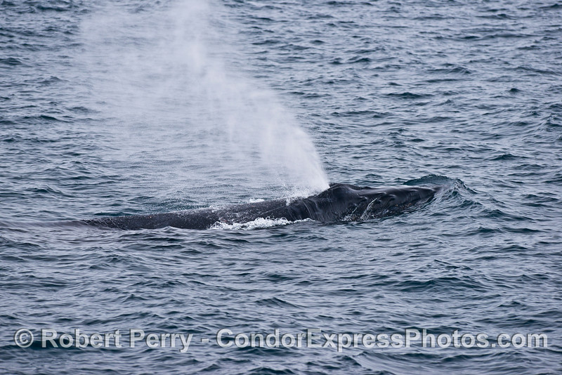 The strong spout from a big humpback whale.