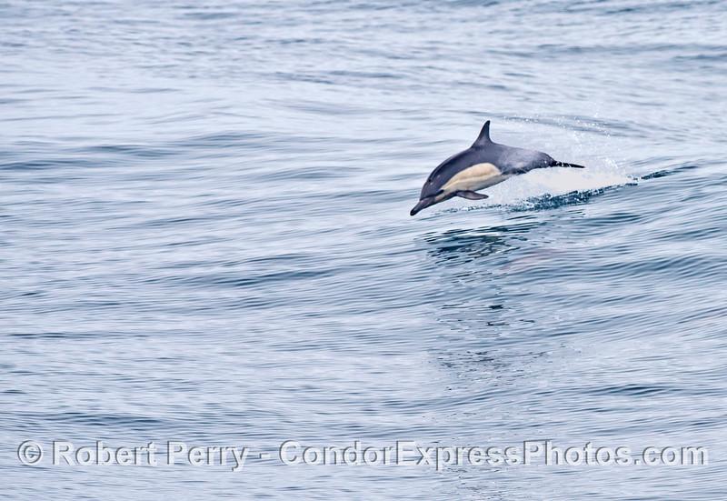 Exhuberant dolphin.