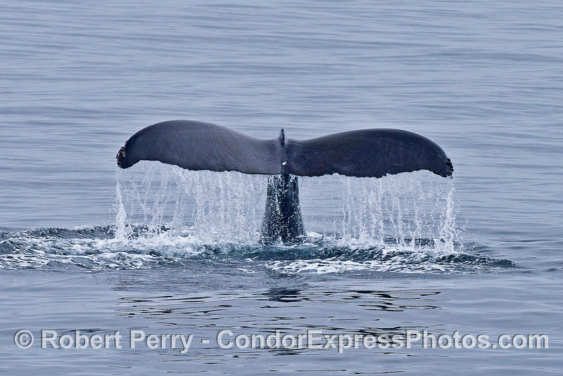 image 3 of 3:  the huge tail flukes of a humpback whale.