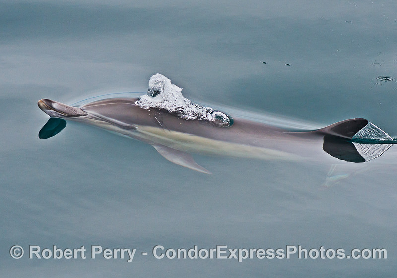 Only the nose and dorsal fin are out of the water as this long-beaked common dolphin lets loose some bubbles.