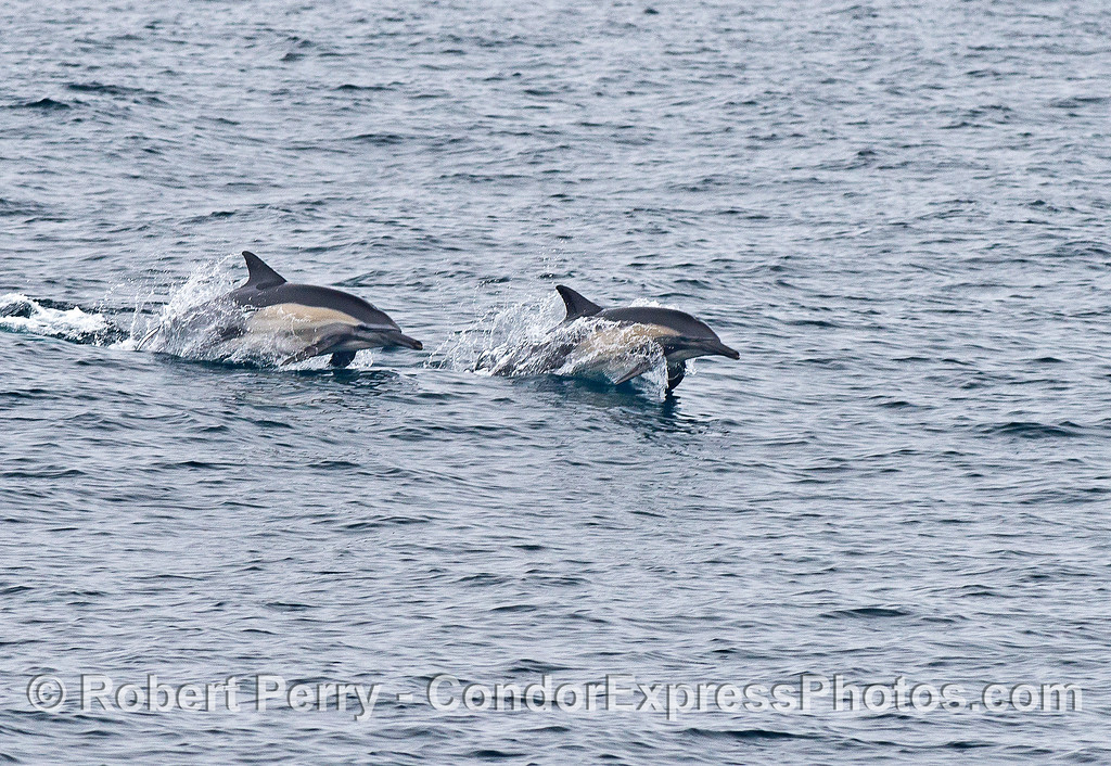 Dynamic duo - long-beaked dolphins leap across the waves.
