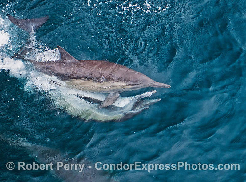 Dolphins mating.  The upside down male has his mouth open.