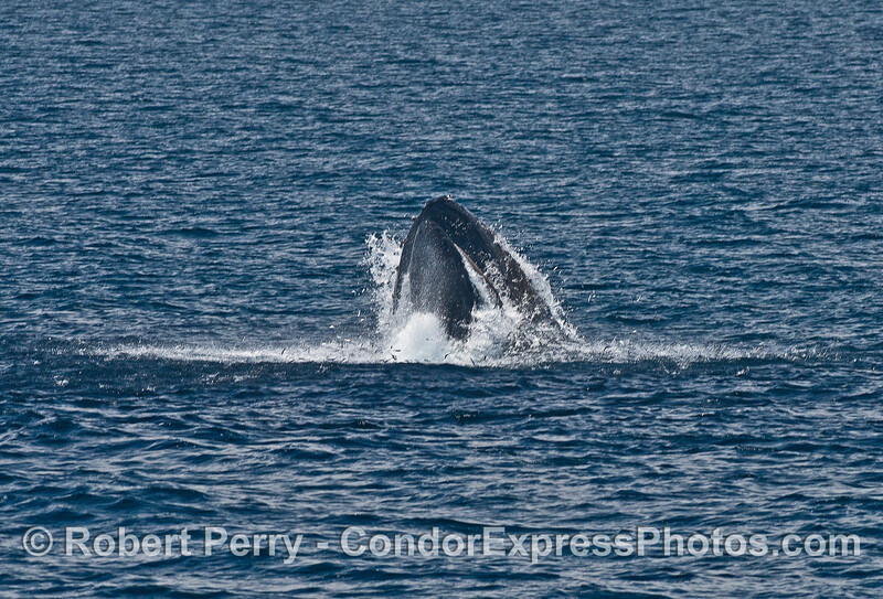 Image 4 of 8:  a surface lunge-feeding humpback whale