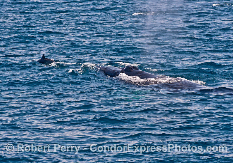 Long-beaked common dolphin and humpback whale