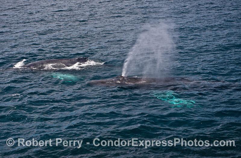 "Two ""whitey-pecs"" humpback whales"