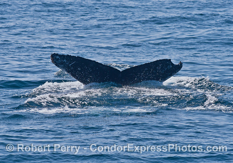 Another shot of our can opener humpback