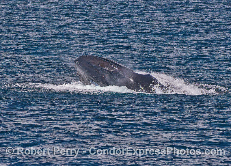Image 5 of 8:  a surface lunge-feeding humpback whale
