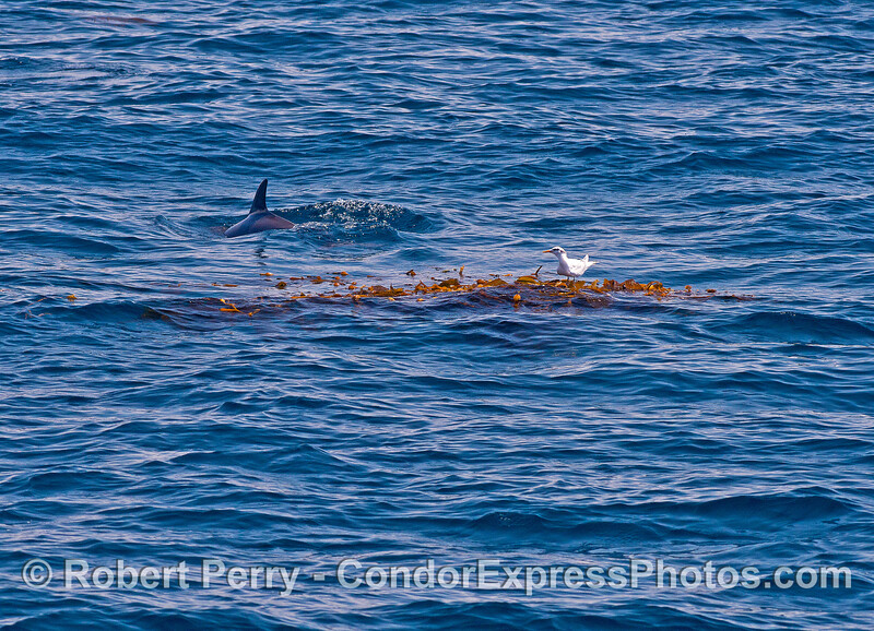 An elegant tern resting nicely on a kelp paddy gets a visit from a friendly dolphin