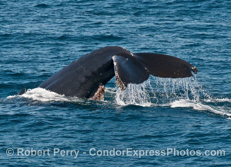 Can opener humpback with lots of barnacle growth
