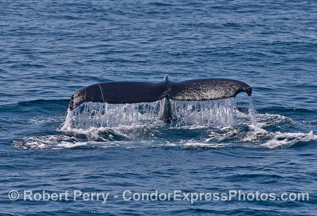 A semi-circular tail notch on this humpback whale looks like it may have had some negative experiences with an Orca.  The wound makes its tail look like a can opener.