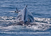 Long-beaked common dolphin and humpback whale - tail views