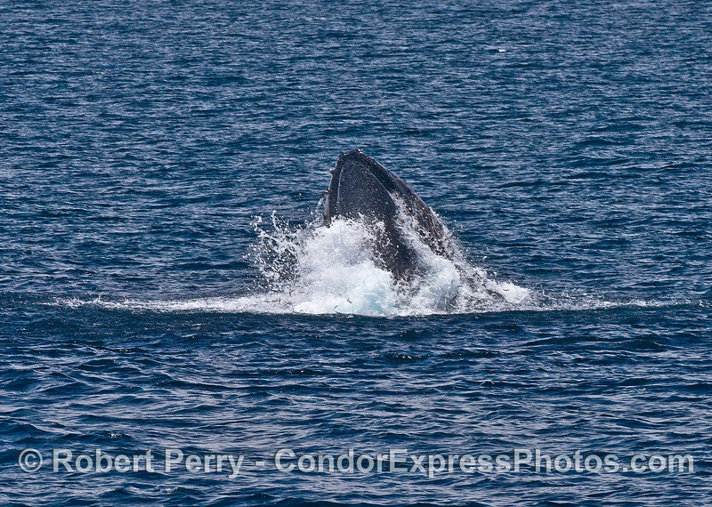 Image 6 of 8:  a surface lunge-feeding humpback whale