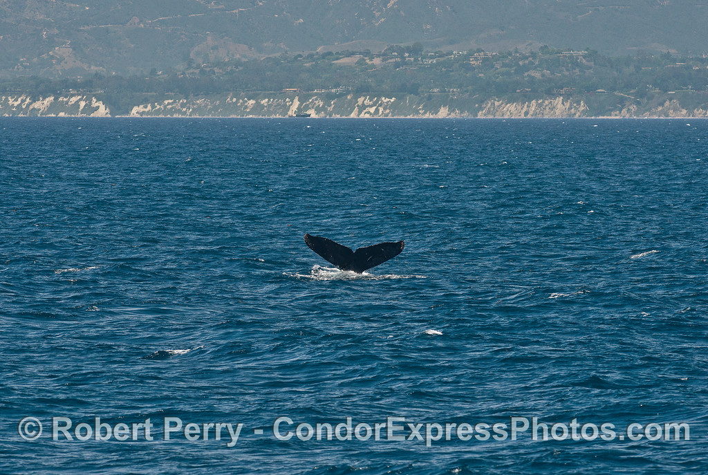 The Santa Barbara coast frames a humpback whale's tail flukes