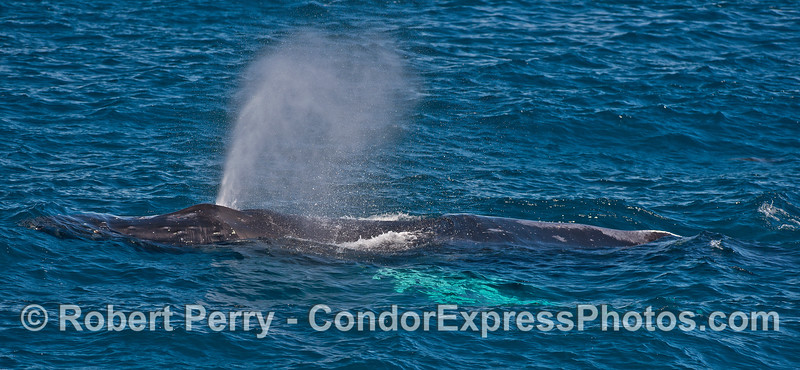 A panorama-style side view of a spouting humpback whale