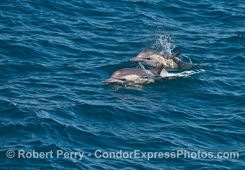 Delphinus capensis 2015 07-13 SB Channel-f-006