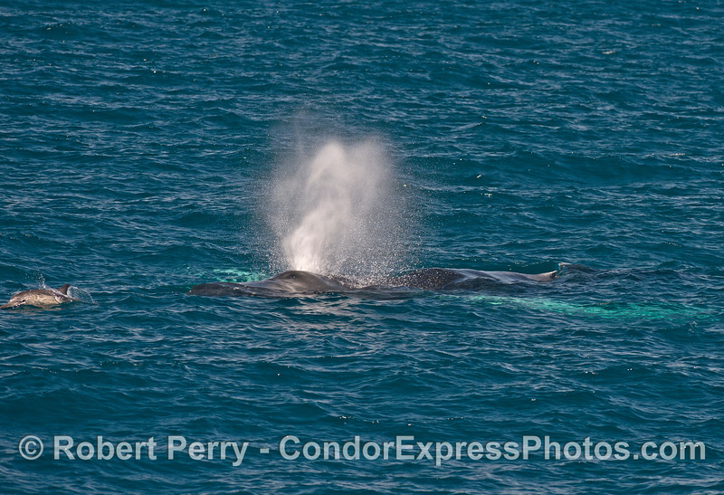 A common dolphin leads a giant humpback whale