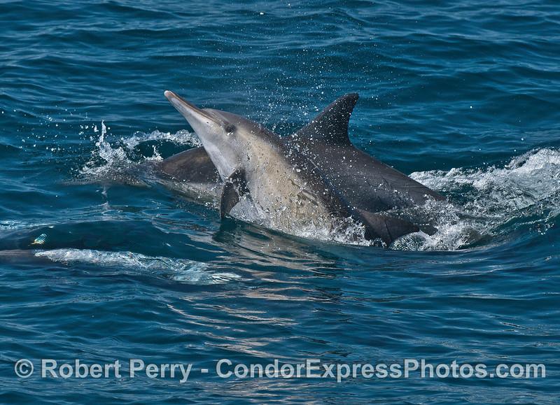 Image 1 of 2:  Long-beaked common dolphins socializing.