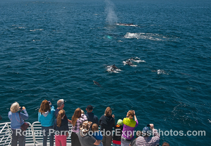 Whale fans enjoy common dolphins and humpback whales.
