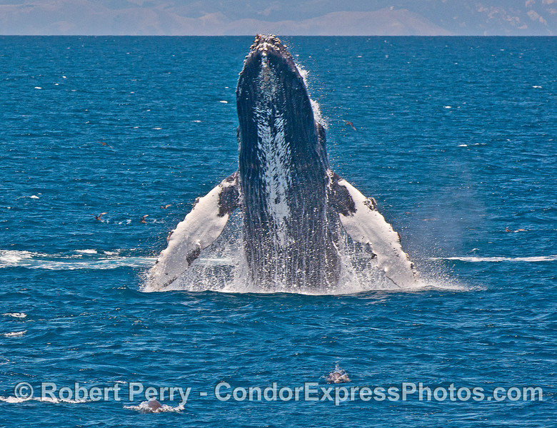 Image 1 in a series of 4 photos as a humpback whale breaches directly at the camera!