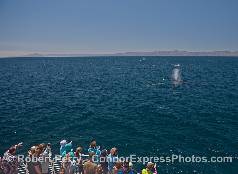 Whale fans get a great view of Santa Cruz Island with humpback whales and dolphins in the picture.