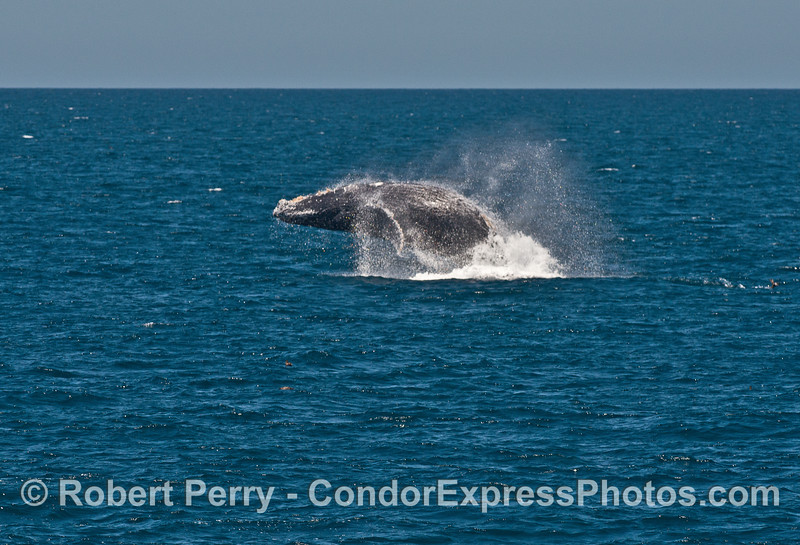 Humpback whale breach.