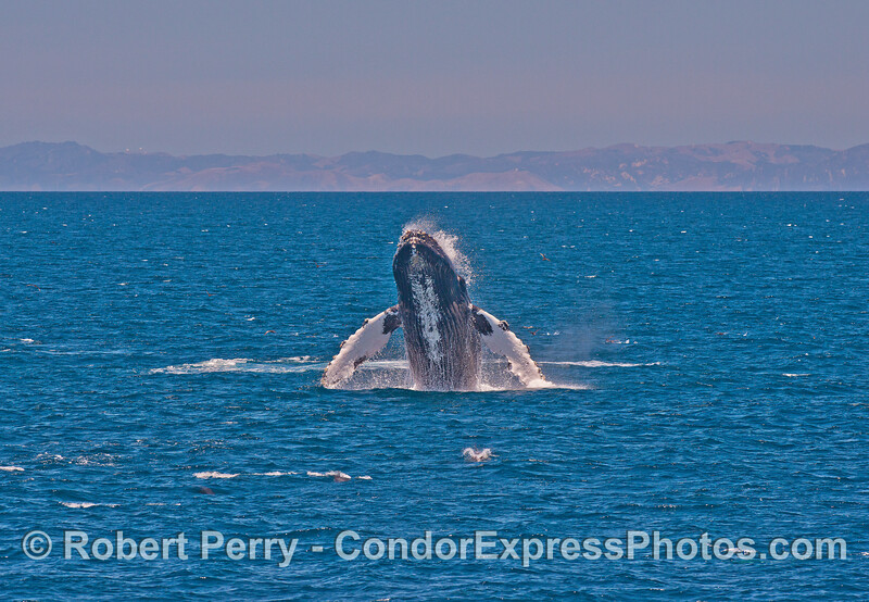A wide-angle view of the same humpback breach seen at the top of this page.