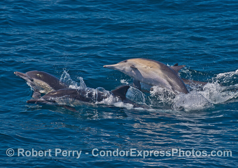 Image 2 of 2:   Long-beaked common dolphins socializing.