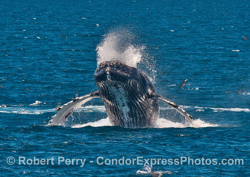 Image 3 in a series of 4 photos as a humpback whale breaches directly at the camera!