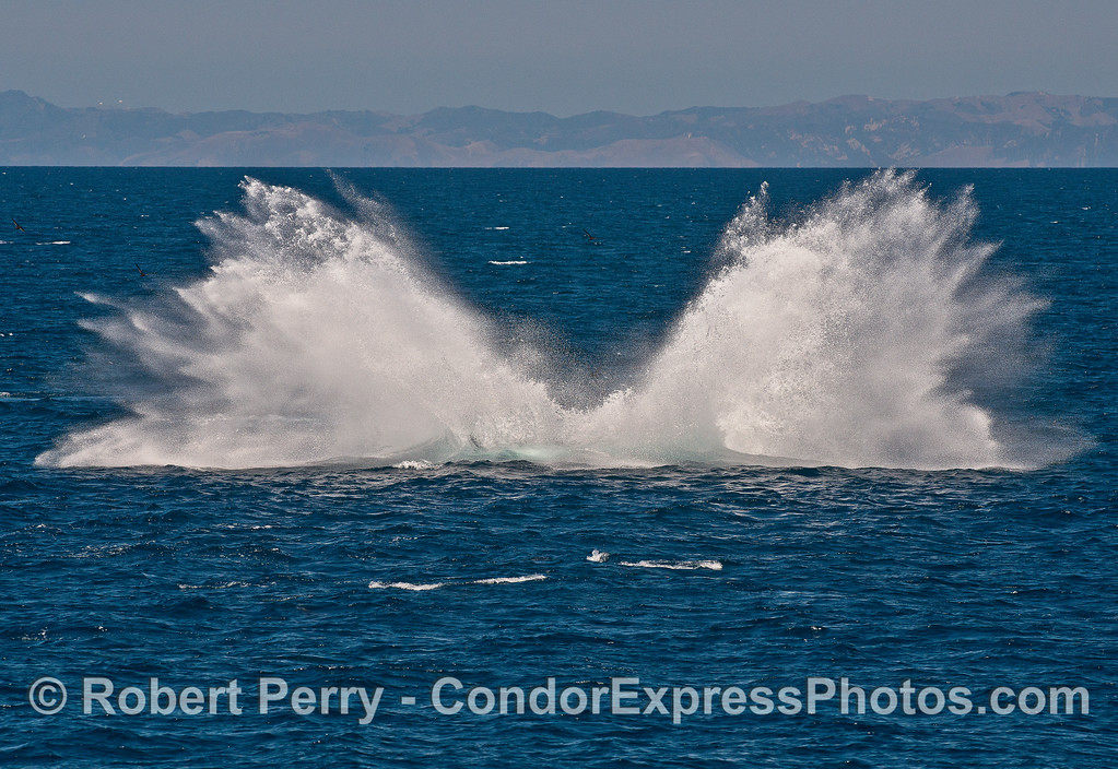 Image 4 in a series of 4 photos as a humpback whale breaches directly at the camera!  Splashdown!