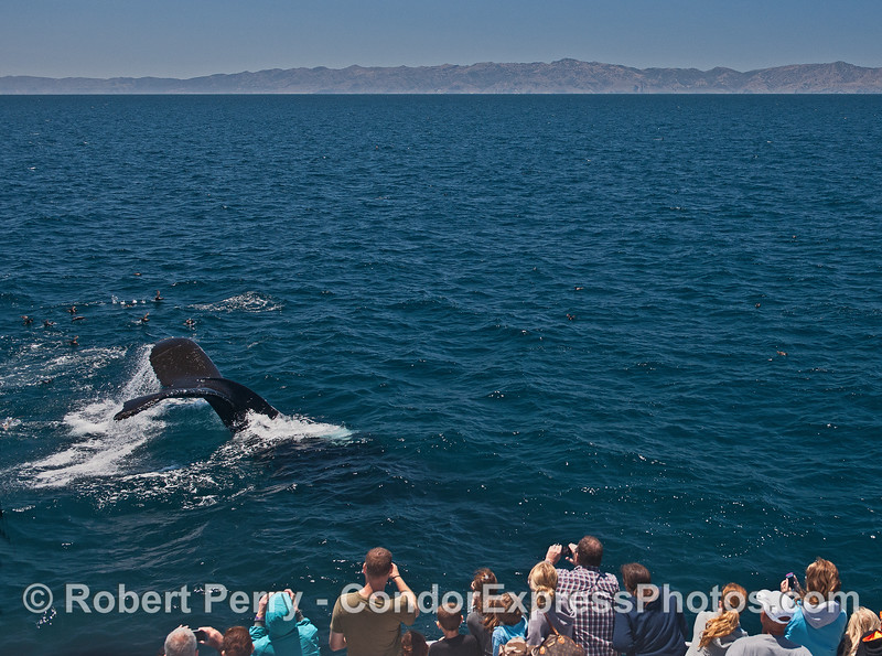 One of several friendly humpback whales show its tail flukes to the fans.