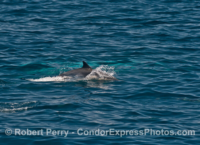 A playful common dolphin is seen swimming very close to a submerged giant humpback whale.  The turquoise water is actually the right pectoral fin of the whale barely beneath the surface.