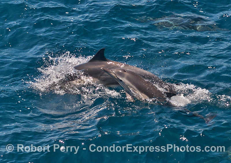 A very young common dolphin calf alongside its mother